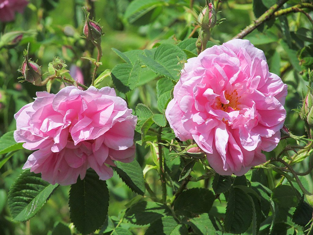 Rose valley - Kazanlak roses