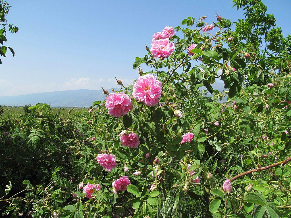 Rose Valley - rose garden