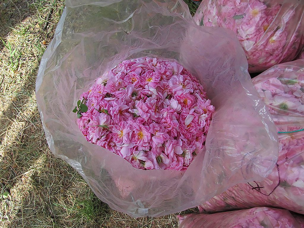 Rose Valley - collected rose petals